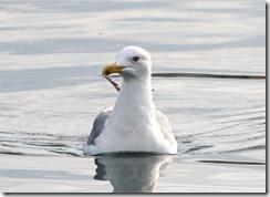 170425001 能古港内で見かけたセグロカモメ(鵲)