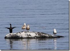 170425006 羽を広げたヒメウ(左)休息中のオオセグロカモメ(右)(鵲)