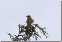 170425007 檜の天辺で囀っていたホオジロ(鵲)