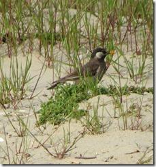 170425012 砂浜のムクドリ