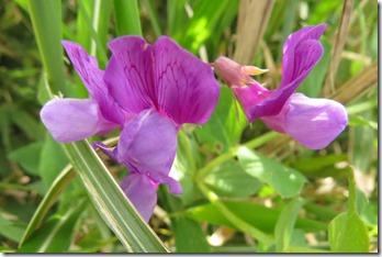 170425014 色鮮やかなハマエンドウの花