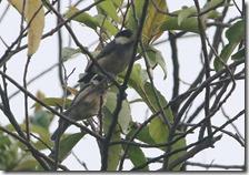 170525001ヤマガラの幼鳥(鵲)