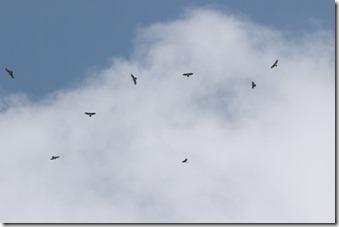 170525007頭上で旋回するハチクマの群れ(鵲)