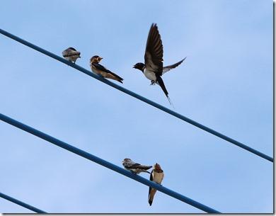 170525008餌待ちのツバメ幼鳥たち(鵲)
