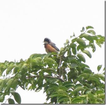 170525010樹上で囀るヤマガラ