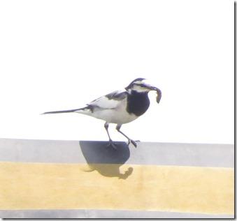 170525011餌を運んできた渡船内で営巣中のハクセキレイ