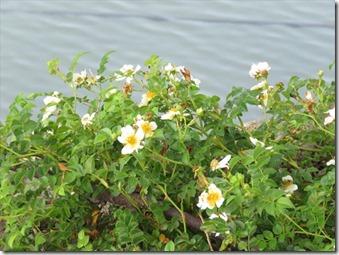 170611008テリハノイバラの花