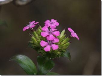 170611009ハマナデシコの花