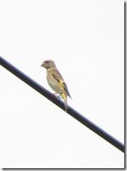 170626011カワラヒワ幼鳥