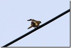 170626012カワラヒワ(鵲)