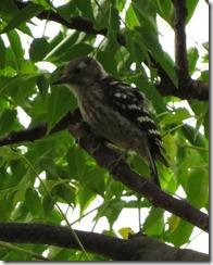 170626013センダンの木に来たコゲラ