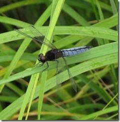 170626018湿地の草地で見かけたハラビロトンボ