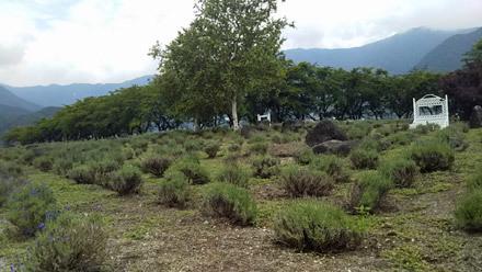 八木崎公園のラベンダーは咲いてない