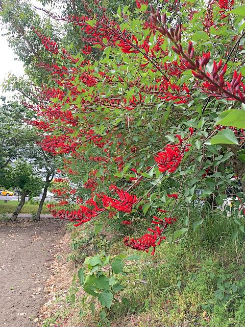 海紅豆並木1