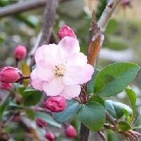1-2 海棠の花 20150330