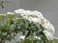 1-4 コデマリの花⑥ 20140428