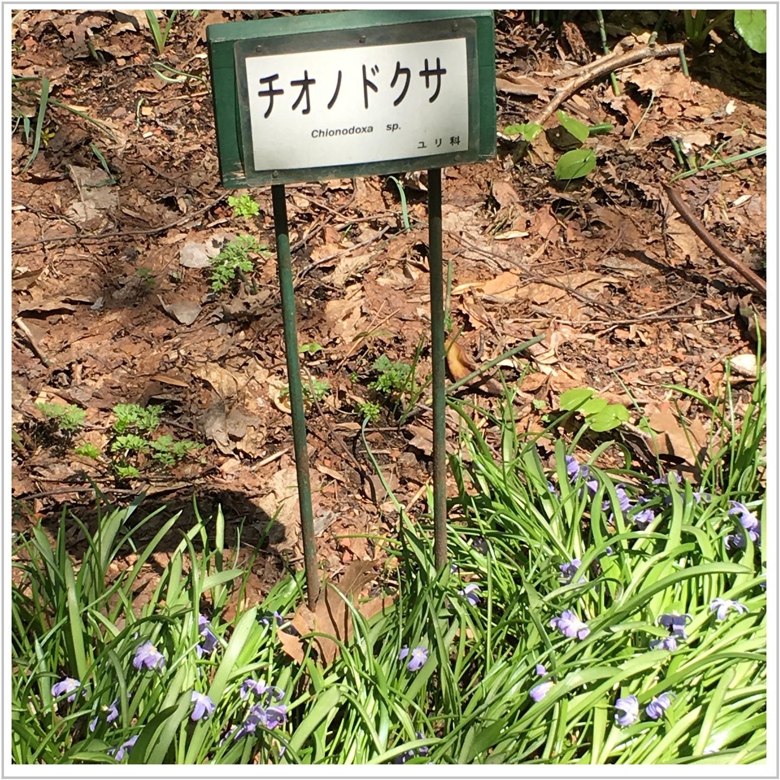 chionodokusa_1_513.jpg