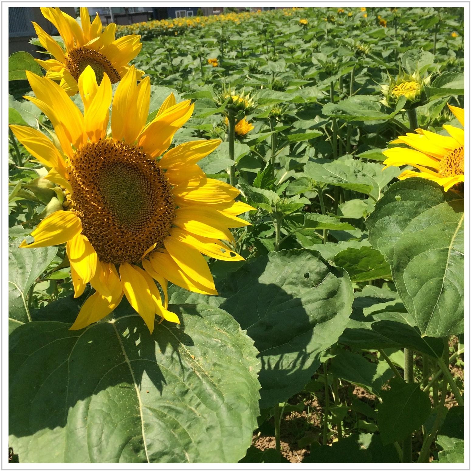 sunflower_14_708.jpg