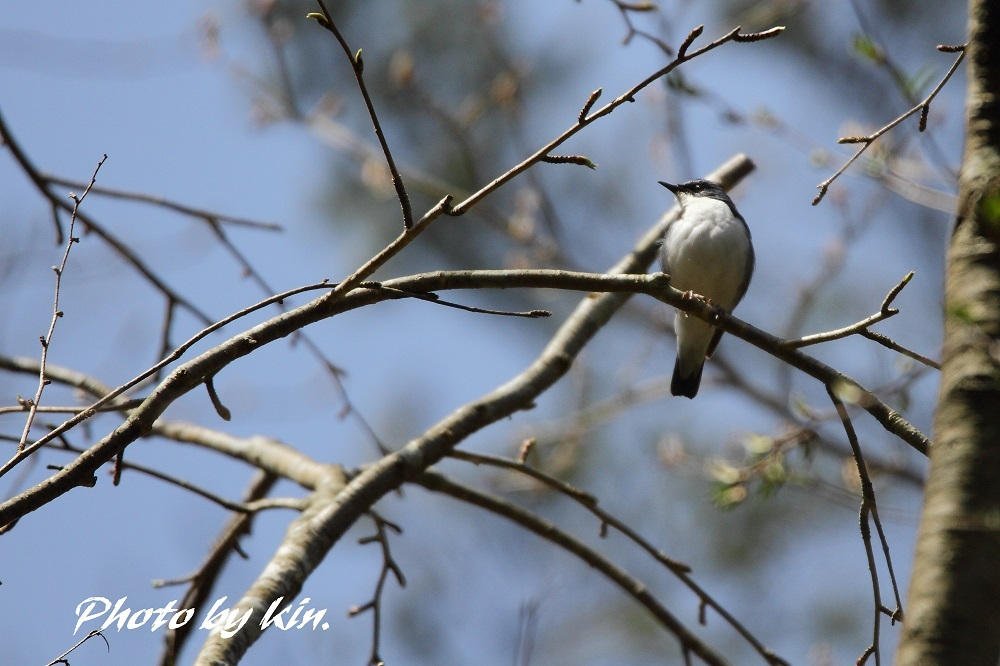 Siberian blue robin ♪ ~コルリ~