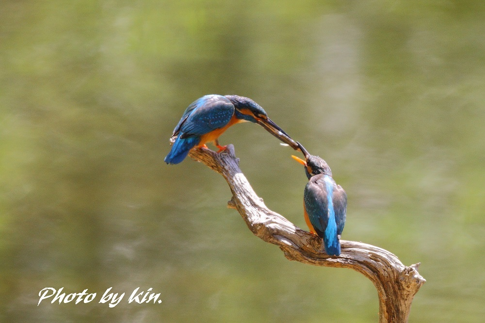 Common kingfisher ♪ ~カワセミ~