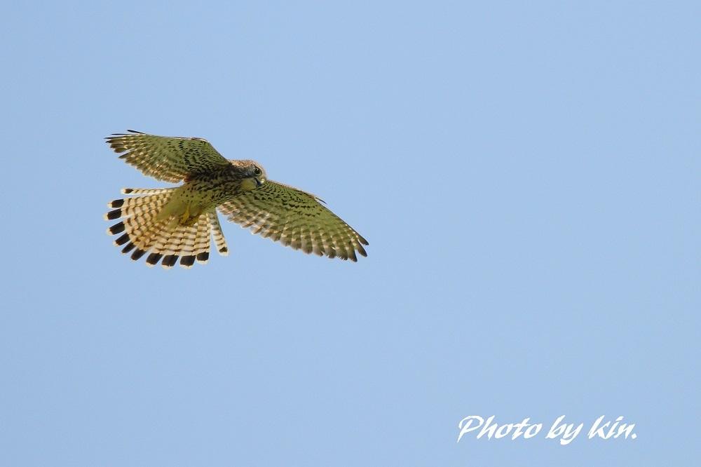 Hovering ! ~チョウゲンボウ~
