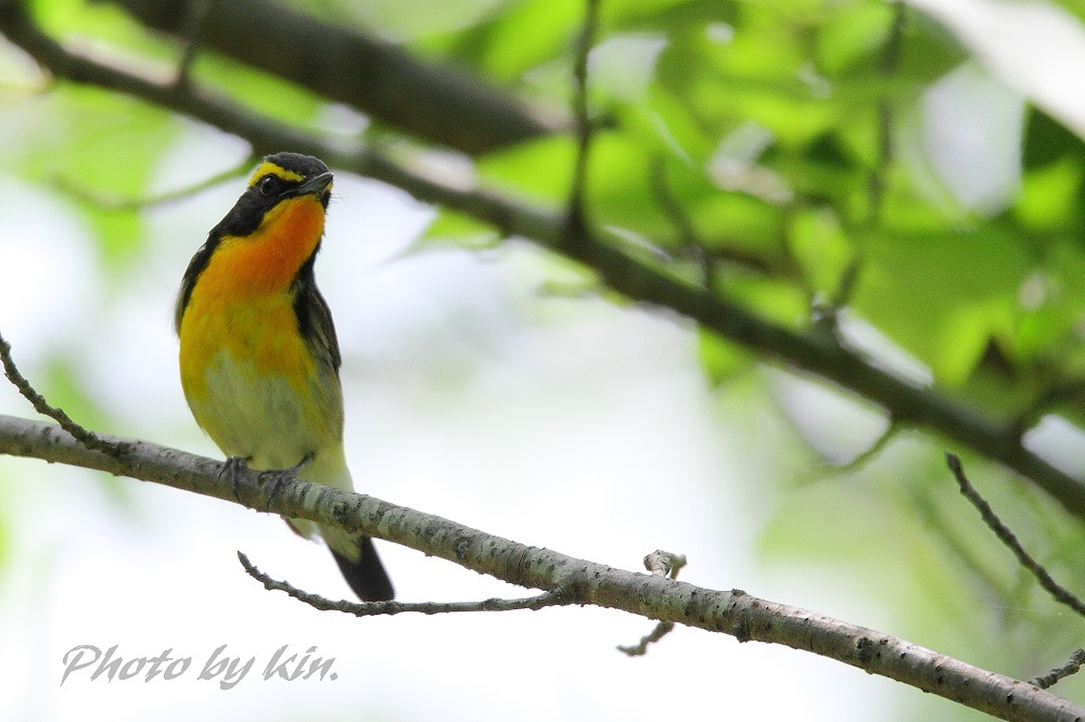 Narcissus flycatcher ♪ ~キビタキ PART2~