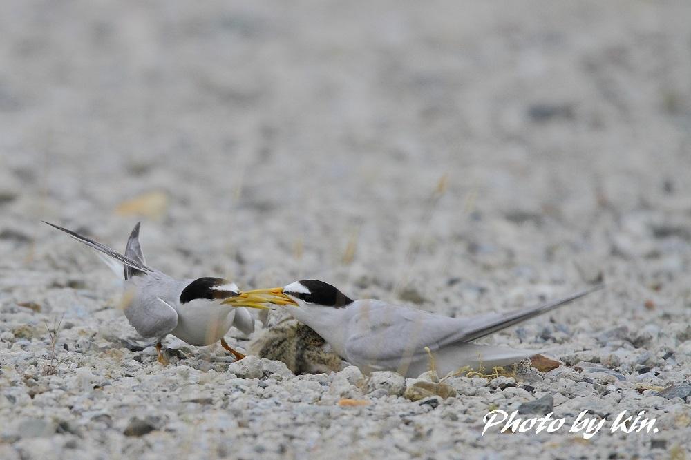 Little Tern ♪ ~コアジ、子育て中~