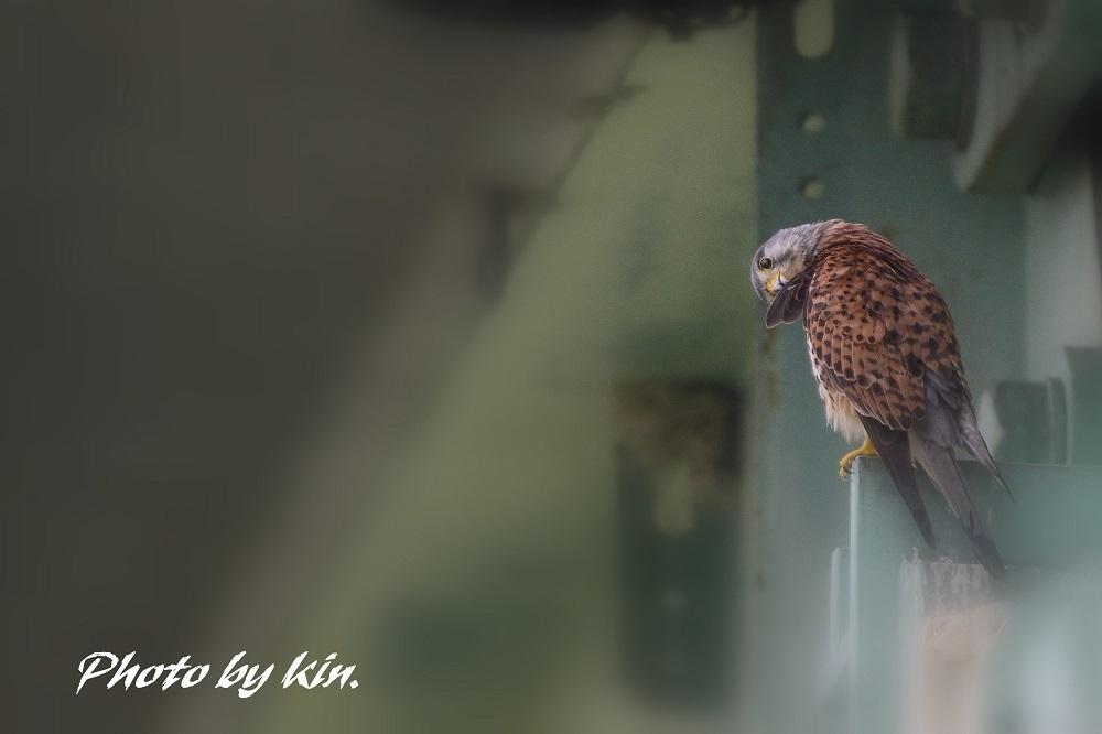 キンのチョウゲンボウ日記♪ ~PART3~