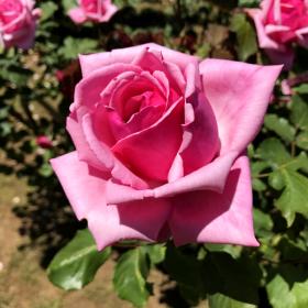 20170723_izu_rose_004.png