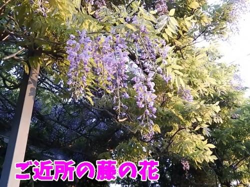 ご近所の藤の花