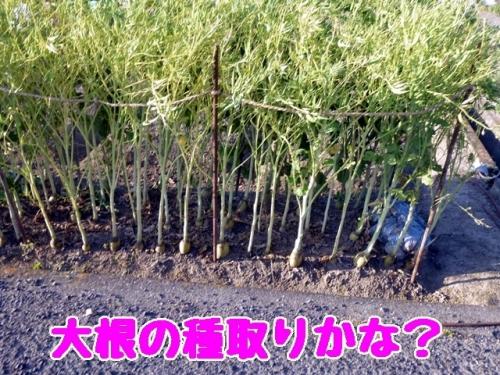 大根の種取りかな