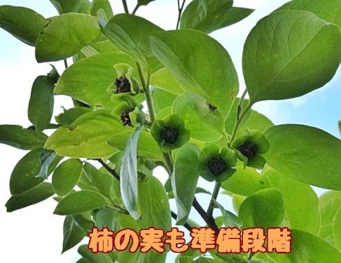 柿の実も準備段階
