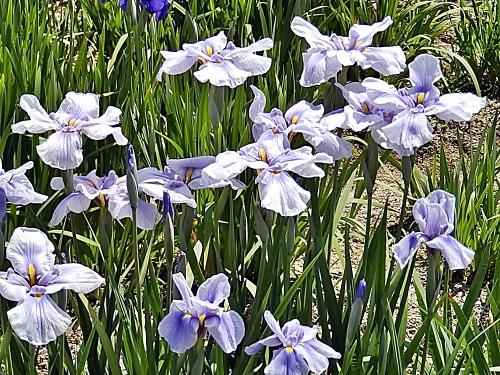 紫の菖蒲の花
