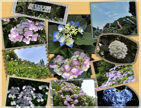 紫陽花祭り1