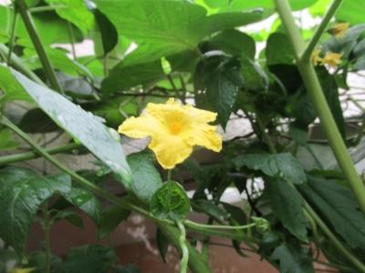 トマトの花