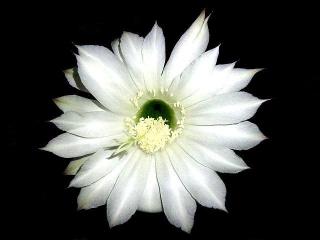 170531_4675 今夜開いた花盛丸サボテンの花VGA