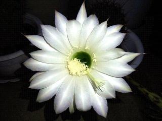 170601_4680 今夜開いた「花盛丸」の花VGA