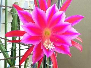 170603_4689 今朝の孔雀サボテンの花zoomVGA