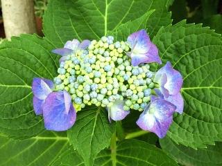 170611_4717 ご近所の家の花壇に咲いていた額紫陽花VGA