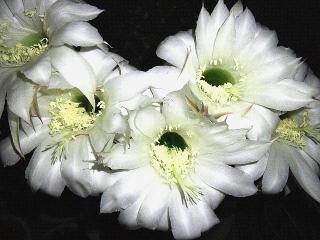 170613_4725 親サボテンの花zoomVGA