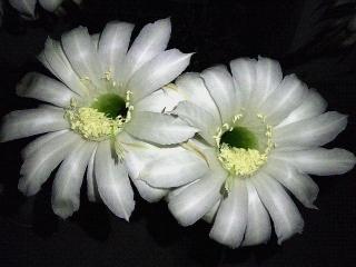 170613_4726 子サボテンの花zoomVGA