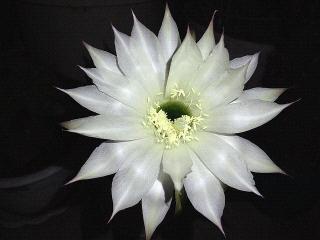 170613_4727 子サボテンの花zoomVGA