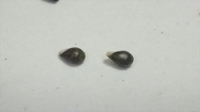 タチツボスミレの種