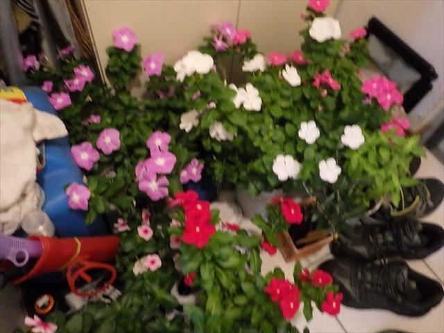 植木鉢を避難-2
