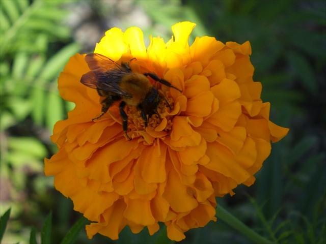 マリーゴールドとミツバチ