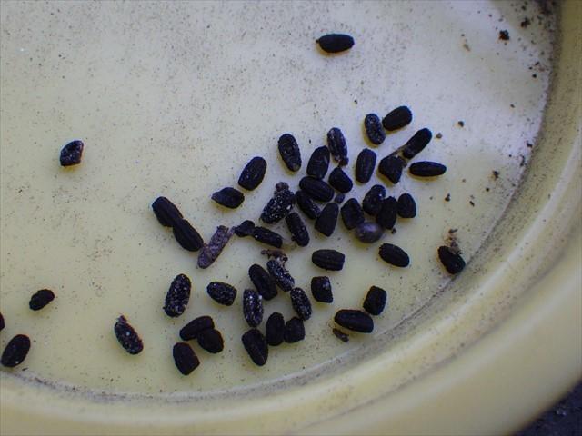 ニチニチソウとタチツボスミレの種-4