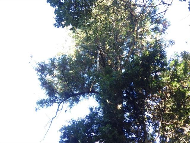 扇八幡宮の傍の木