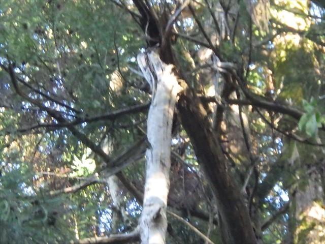 扇八幡宮の傍の木 折れた枝