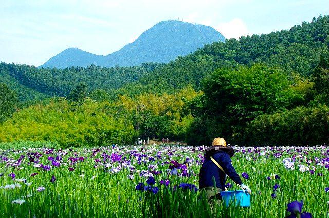鶴見岳と神楽女湖の花菖蒲