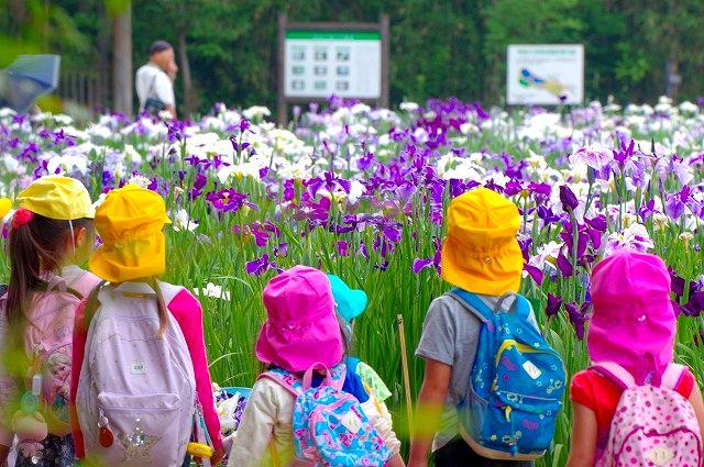 全校生徒で神楽女湖の花菖蒲